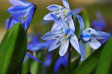 BLUE LILY SCILLA (tiny flowers)