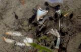 Tadpoles taking shelter around crawfish remains.