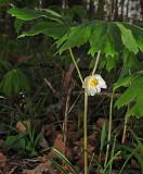 Mayapple (Toad Umbrella) Bloom