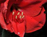 Red Lion Amaryllis Bloom