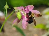 Bee on the Columbine (gathering pollen through the side of the bloom, ranther than from the front)