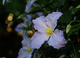 Clemitis Bloom