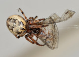 Spider enjoying an unlucky Damselfly