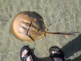 Another horseshoe crab