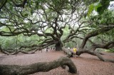 Brenda under the Angel Oak. Possibly the largest living organism in the Eastern U.S.