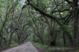 Live oaks on Botany Bay road