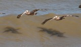 Pelicans riding the waves