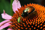 Two beetles are interested in the same pollen