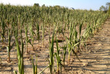 Drought affected corn