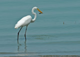 Great Egret with it's catch