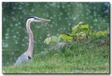 Blue Heron on Lake Loramie
