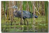 Blue Heron in cattails