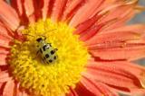 Beetle on Mum