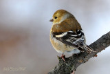 American Goldfinch in it's Winter Colors