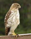 Coopers Hawk in the Rain
