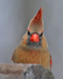 Getting the Evil Eye from a Female Cardinal