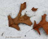 Red Oak leaf in the Snow
