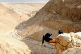 Tristram's Starling, Nahal Peres, Judean desert