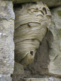 wasp nest on wall of church at Wharram Percy