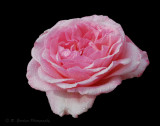 2010-05-16 Roses 033m2 cr72.jpg