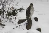 Cooper's Hawk - Juvenile