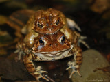 Breeding American Toads