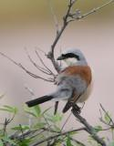 REDBACKED SHRIKE - Lanius collurio