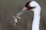Whooping Crane - Scarbaby and his mate - Aransas NWR winter 2010-11