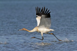 Whooping Crane - photos of Wood Buffalo-Aransas radioed Whoopers (with GPS transmitters)