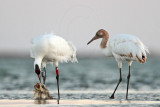 Whooping Crane - Feeding at dusk on dead fish remains