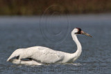 Whooping Crane - swimming and wading in deep water