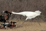 Whooping Crane - Black-bellied Whistling-Duck:  Interspecific Interactions -  defending feeder territory