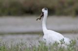 _MG_4024 Whooping Crane.jpg
