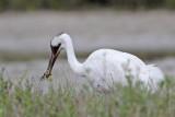 _MG_4030 Whooping Crane.jpg