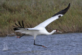 Whooping Crane - taking off – run over water