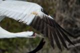 _MG_9214crop Whooping Crane.jpg