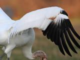 _MG_0975 Whooping Crane.jpg