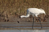 Whooping Crane – Animal food items – Fish – flounder