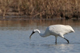 Whooping Crane – Animal food items – Fish – minnows