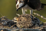 Osprey - Cannibalism