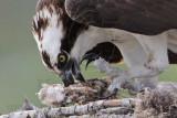 Osprey - female manipulating offspring carcass