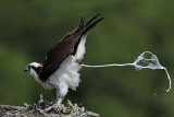 Osprey - Adult: defecation over the edge of the nest