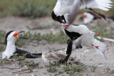 Laughing Gull pirating food from Black Skimmer - Rockport Beach Park