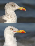 Lesser Black-backed Gull wing and head molt progress in 21 days on wintering ground in Texas