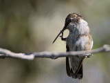 Ruby-throated Hummingbird scratching