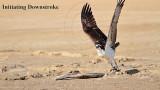 Osprey Takeoff: Downstroke & Upstroke