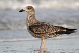 Lesser Black-backed Gull juveniles - Upper Texas Coast - November 2011