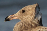 American Herring Gull - juvenile head and neck feathers