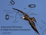 Anatomical Directions & Flight Dynamics Parameters