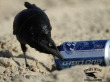 Great-tailed Grackle - drinking Bud Light on beach